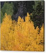 Aspen Trees In Full Bloom Canvas Print