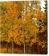 Aspen Trees With Autumn Leaves  Canvas Print