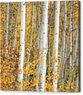 Aspen With Fall Color Canvas Print