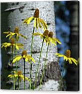 Aspens And Arnicas Canvas Print
