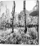 Aspens Black And White Canvas Print