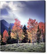Aspens In Autumn Light Canvas Print