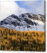 Aspens In Fall Colors Canvas Print