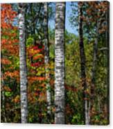 Aspens In Fall Forest Canvas Print