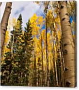 Aspens In Santa Fe 3 Canvas Print