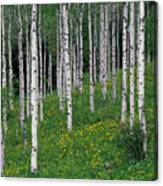 Aspens In Spring Canvas Print