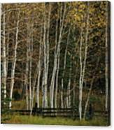 Aspens In The Fall Canvas Print