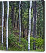 Aspens In The Woods Canvas Print