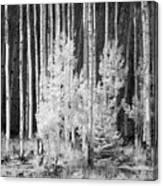 Aspens Ir 0713 Canvas Print