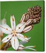 Asphodelus Microcarpus Canvas Print