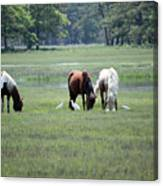 Assateague Island - Wild Ponies And Their Buddies  Canvas Print