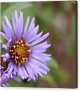 Aster Flower Canvas Print