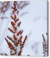 Astilbe Aglow In The Snow Canvas Print