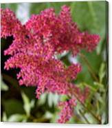 Astilbe Bloom Canvas Print