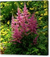 Astillbe In Light And Shadow Canvas Print