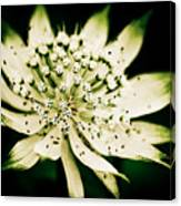 Astrantia In Bloom Canvas Print