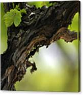 At Lachish Vineyard Canvas Print