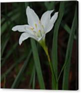 Atamasco Lily Canvas Print