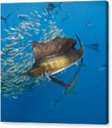 Atlantic Sailfish Hunting Canvas Print