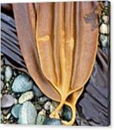Attached - Laminaria Yezoensis Canvas Print
