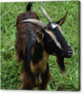 Attractive Goat Standing In A Grass Field On A Farm Canvas Print