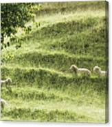 Auckland Sheep Grazing Canvas Print