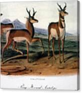 Audubon: Antelope, 1846 Canvas Print
