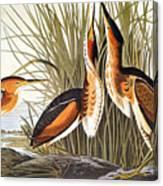 Audubon: Bittern Canvas Print