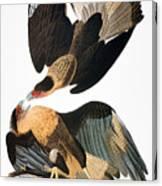 Audubon: Caracara, 1827-38 Canvas Print