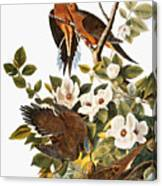 Audubon Dove Canvas Print