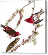 Audubon: Finch, (1827-38) Canvas Print