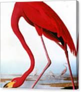 Audubon: Flamingo, 1827 Canvas Print