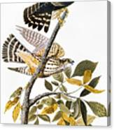 Audubon: Hawk Canvas Print