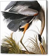 Audubon Heron Canvas Print