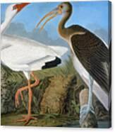 Audubon: Ibis Canvas Print