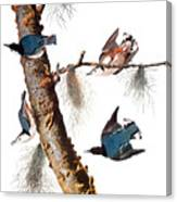Audubon: Nuthatch Canvas Print