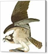 Audubon: Osprey Canvas Print