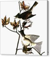 Audubon: Phoebe Canvas Print