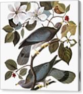 Audubon: Pigeon Canvas Print