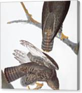 Audubon: Red-tailed Hawk Canvas Print