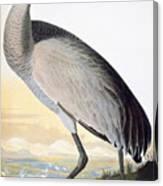 Audubon Sandhill Crane Canvas Print