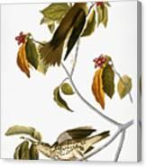 Audubon: Thrush Canvas Print