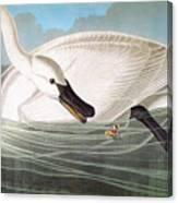 Audubon: Trumpeter Swan Canvas Print