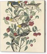 Audubon's Warbler Canvas Print