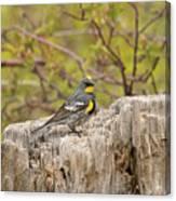 Audubon's Yellow Rumped Warbler Canvas Print