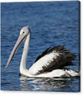 Australian Pelican B Canvas Print