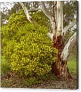 Australian Wattles Bush And Candlebark Gum Tree Canvas Print