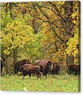 Autumn Bison Canvas Print