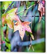 Autumn Color Changing Leaves On A Tree Branch Canvas Print