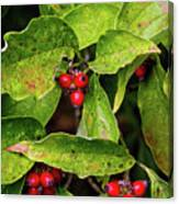 Autumn Dogwood Berries Canvas Print